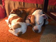 Jack Russell Terrier & Pit Bull ♥