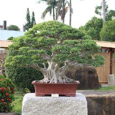 Wanjing Yiyuan garden, Taiwan #bonsai #盆栽 #盆景 #bonsaitree #nature