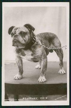 English Bulldog Dog Bromley Crib original old c1910s photo postcard