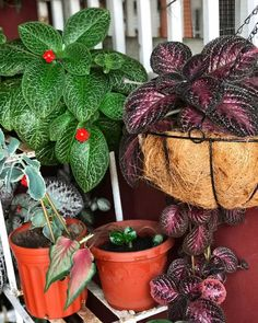 A cousin to African Violets, episcias require very similar care with similar light and light fully soil. They do like a shallow pot. I used to grow them in the drip tray off my big outside pots.  #Gesneriad #GesneriadSocietyofAmerica #Episcia #EpisciaLover #AVSA #IndoorPlant #Houseplant #petals #AfricanVioletSocietyOfAmerica #flowers #blooms #flowerpower #flowerstagram #FlowersOfInstagram Leafy Plants, Flowering Plants, Air Plants, Planting Flowers, Saintpaulia, Drip Tray, Carnivorous Plants, Natural Garden, Companion Planting