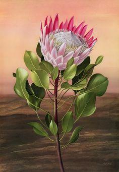 Paul Jones is a contemporary Australian artist who has painted these beautiful botanical illustrations Flora Magnifica and Flora Superba botanical prints Flor Protea, Protea Art, Protea Flower, Art Floral, Australian Painters, Australian Artists, Botanical Flowers, Botanical Prints, Art And Illustration