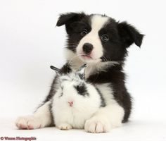 Border collie puppy and bunny :)