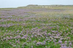 In augustus kleurt de Slufter paars van het lamsoor.