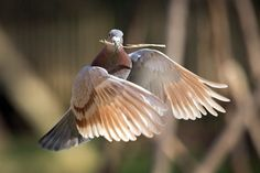 A homing pigeon carries a piece of straw to fatten its nest in Lexington, Ky