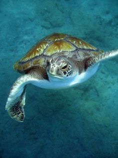 Sea Turtle We are want to say thanks if you like to share this post to another p. - Sea Turtle We are want to say thanks if you like to share this post to another people via your face - Sea Turtle Art, Turtle Love, Sea Turtles, Reptiles, Sea Turtle Pictures, Animal Pictures, Wild Creatures, Ocean Creatures, Beautiful Sea Creatures