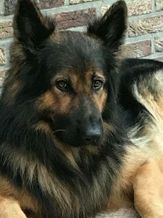 Wicked Training Your German Shepherd Dog Ideas. Mind Blowing Training Your German Shepherd Dog Ideas. German Shepherd Rescue, German Shepherds, Beautiful Dogs, Animals Beautiful, I Love Dogs, Cute Dogs, Malinois, Schaefer, Dog Activities