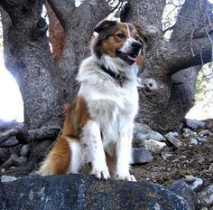 English Shepherd-looks like my timmy!