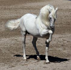 Performance, andalusian, horses, spanish, white