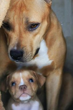 Pitbull Mommy and Puppy