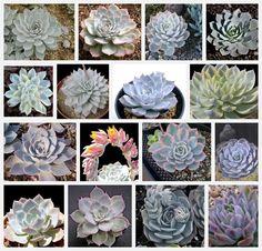 #succulents :: echeveria subsessilis