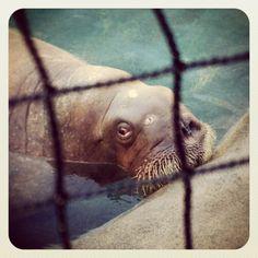 60 Best Favorite Walrus Photos images in 2017 | Ocean life, Ocean