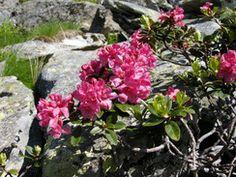 Fest zur Almrauschblüte auf der Reireralm  #reiteralm #schladming Plants, Horseback Riding, Plant, Planting, Planets