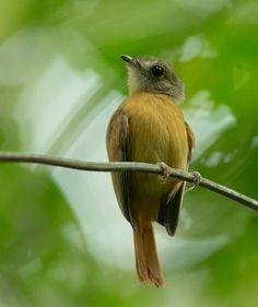 Foto papa-moscas-uirapuru (Terenotriccus erythrurus) por Ester Ramirez | Wiki Aves - A Enciclopédia das Aves do Brasil