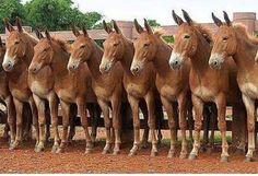 Love those mules