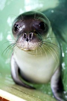 "Sea monk seal pup baby monk seal National Marine Park of Alonissos"" by svoifilm :)"