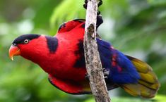 Black-capped lory a colourful creation: