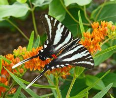 Zebra Swallowtail (Protographium marcellus) - Photo by Larry Meade
