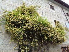 Rosa banksiae var. lutea -  Foto-diario di una giardiniera curiosa