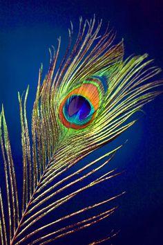 peacock feather Art Print by Mark Ashkenazi | Society6