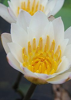 A pair of golden throated white Water Lilies | Flickr - Photo Sharing!
