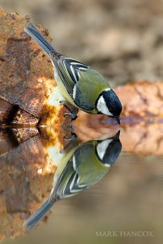 Mark Hancox,very beautiful photo!.  This is a great tit,i used to have one feed from my hand.