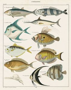 Oken Fish & Shell Pr
