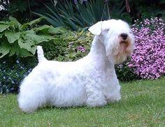 Raza de perro Sealyham Terrier http://www.mascotadomestica.com/razas-perros/sealyham-terrier.html