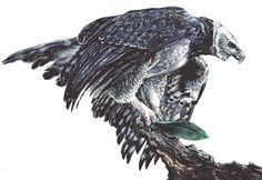 ANIMAL PROJECT - Harpy Eagle (Harpia Harpyja) by mickytaka558