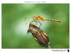 Insects, Animals, Fotografia, Dragonflies, Brown, Animaux, Animal, Animales, Animais