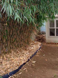 Graceful weavers bamboo bambusa textilis 39 gracilis 39 graceful bamboo weaver 39 s bamboo a - Barriere anti rhizome bambou ...