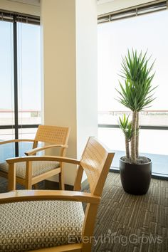 Charmant The Bold Geometric Lines On This Yucca Cane Plant Next To These Modern  Chairs Look Right