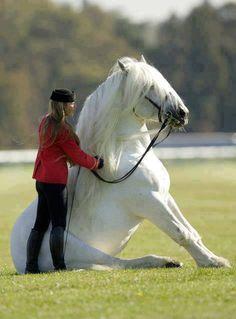 Sweet horse sitting down. Oh my he is beautiful! Albino paard