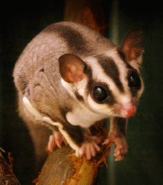 Every time I'm looking for gliders for the nursery, this little bastard shows up. I'm more partial to sloths, but maybe I'll have to work him in somehow. Amazing Animals, Unique Animals, Animals Beautiful, Interesting Animals, Sugar Glider Care, Sugar Gliders, Mundo Animal, My Animal, Sugar Bears