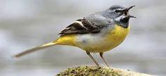 Bildergebnis für singvögel in deutschland