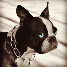 Frankenstein, Boston Terrier with blue eyes