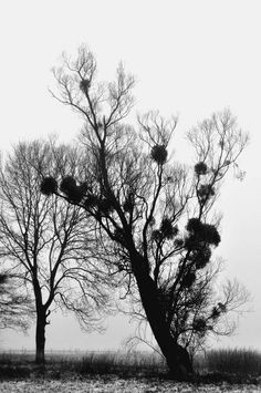 Photo : Arbre et Gui, France, Arbres, Noir & blanc, Daillancourt. Toutes les photos de Stéphane Massé sur L'Internaute