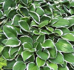 Buy Hosta 'Francee' (hostas should be mulched with a layer of finely shredded organic material to prevent heaving in the winter. Mulch is beneficial because it retains moisture around the plant's roots, but it is also the ideal place for slugs to hide. Watch for holes in the center of the leaves. If they are present, so are slugs. Applying a slug bait in early spring when new shoots are beginning to emerge will help to reduce the slug population. After a few years when plants are firmly…