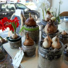 amaryllis and hyacinth bulbs for holiday red and green