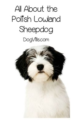 The Polish Lowland Sheepdog makes an excellent addition to any family with adequate space. Is the Polish Lowland Sheepdog hypoallergenic? Find out!