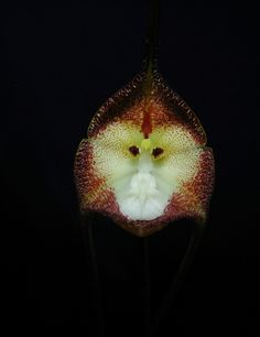 Dracula Simia.  I love how the orchid's face is very similar to a monkey's.  (Found on Flickr, artist: plubaq) Weird Plants, Unique Plants, Unique Flowers, Dracula, Monkey Orchid, Mother Nature, Planting Flowers, Natural Beauty, Trees