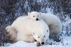 Cute Polar Bear Cubs | Cute: A polar bear and cub are photographed from a Tundra Buggy in ...