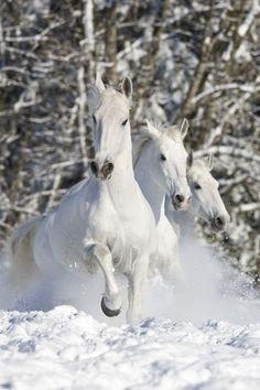 White horses in snow