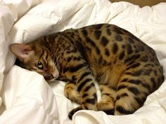 Bengal Kitten Looking so Sweet.