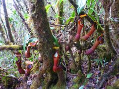 N. edwardsiana upper pitchers hanging next to the trail.