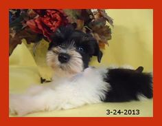 Black and White Parti Schnauzer Puppy for sale, Indiana, Glitz and Glamour Paws