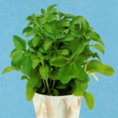 Stevia. Helpful hint...stevia must be protected from chipmunks and mice...they will eat it to the ground. I use a wire cage.