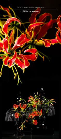 Gloriosa Rothschildiana 'Tomas De Bruyne' in full bloom ...