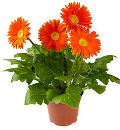 GERBERA DAISY (Gerbera jamesonii) Gerbera daisies, also called Barberton or African daisies, are the only flowering plant on our Top 5 Air-Purifying Plants list. Instructions for growing Gerbera jamesonii––They're also non-toxic to cats and dogs, and are the only pet-safe plants to make this list. Read more on the #McLendons blog! TOP 5 AIR-PURIFYING PLANTS: Part 3.