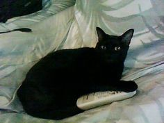 My black cat Juliet does this when she watches TV. Im so not kidding. You only get the remote back if you can distract her. We watched Gone With the Wind, and Spinal Tap in the same night!!!