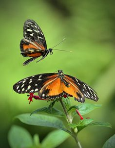 Golden Heliconius Butterflies in Mating Display, Wings of the Tropics, Fairchild Tropical Botanic Garden.   Flickr - Photo Sharing!